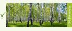 1089_Birkenforest